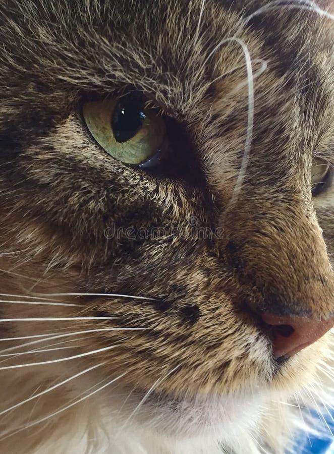 Ci?rrese para arriba de cara de los gatos foto de archivo