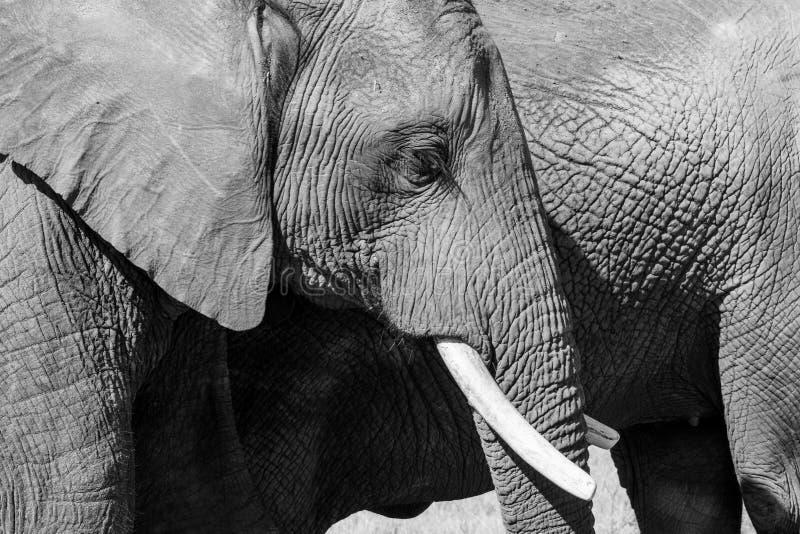 Ci?rrese para arriba de elefante africano, fotografiado en monocromo del alto contraste en el parque del elefante de Knysna en la imagenes de archivo