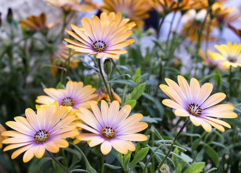 Ci?rrese para arriba de flores amarillas fotografía de archivo libre de regalías