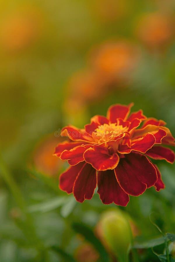 Ci?rrese para arriba de la flor amarilla anaranjada hermosa de la maravilla, p?talos con las pendientes efecto, macro de la marav fotos de archivo