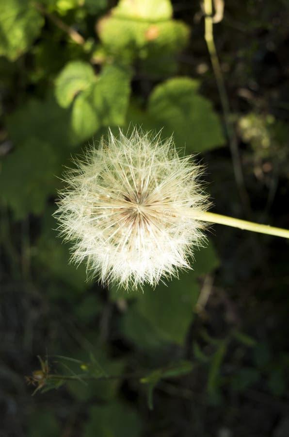 Ci?rrese para arriba de la flor del diente de le?n fotos de archivo libres de regalías