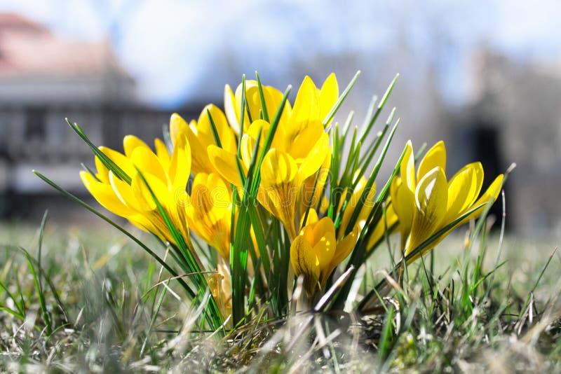 Ci?rrese para arriba de las flores amarillas del azafr?n fotos de archivo