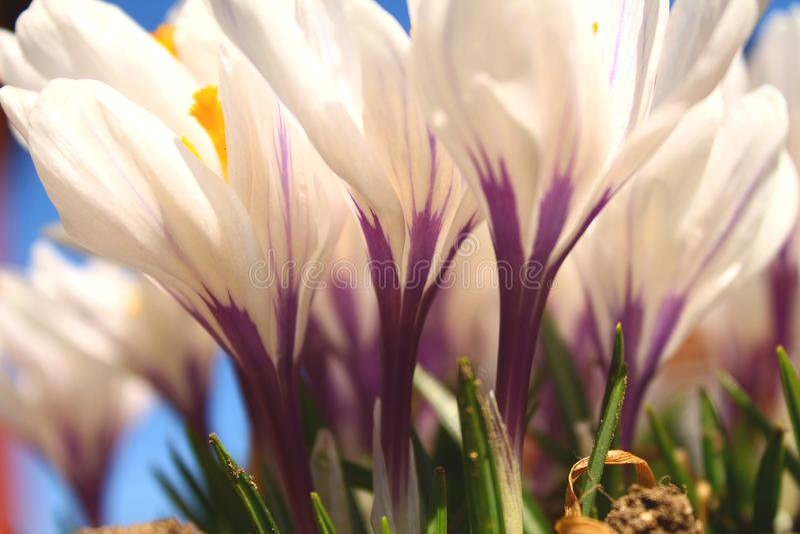 Ci?rrese para arriba de las flores blancas con d?a claro soleado de los detalles p?rpuras foto de archivo libre de regalías