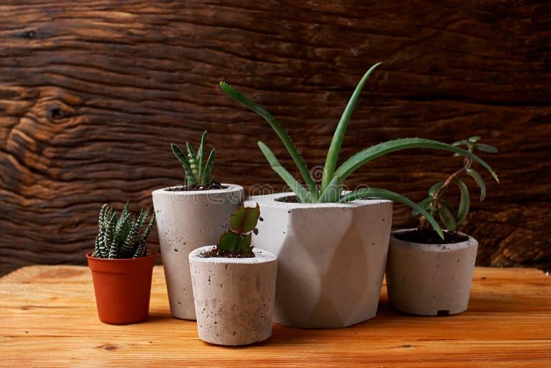 Ci?rrese para arriba de succulents min?sculos en potes concretos de DIY El concepto de comodidad casera foto de archivo