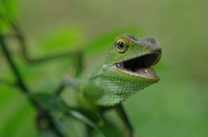 Ci?rrese para arriba de un camale?n verde imagen de archivo libre de regalías