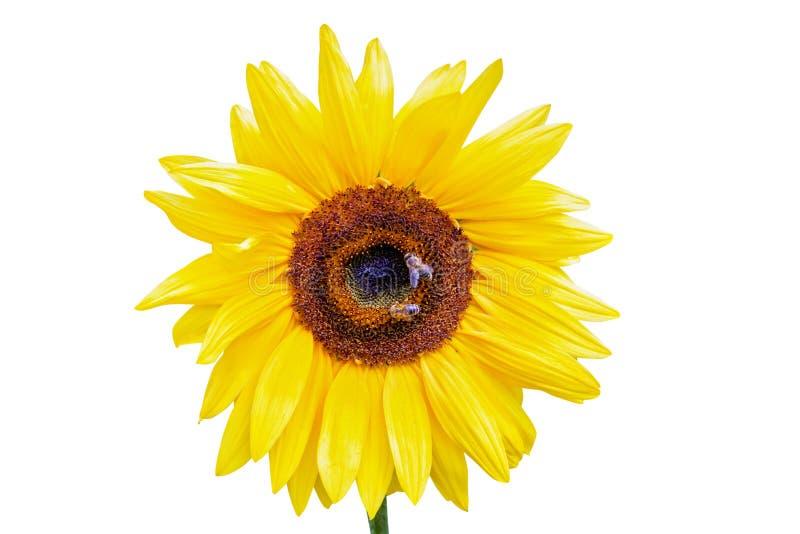 Ci?rrese para arriba de un girasol con las abejas que recolectan el n?ctar aislado en blanco fotografía de archivo libre de regalías