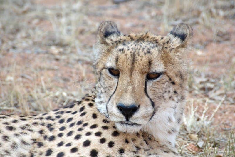 Ci?rrese para arriba de un guepardo imagenes de archivo