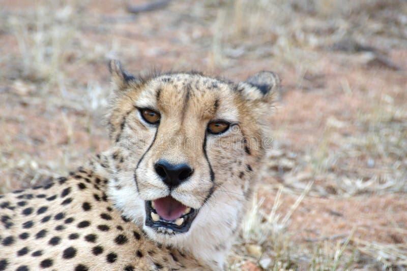 Ci?rrese para arriba de un guepardo imagen de archivo libre de regalías