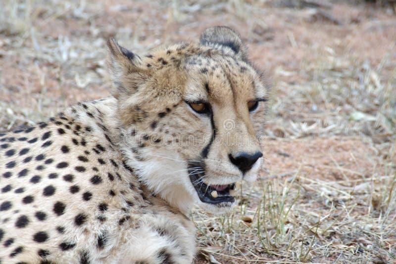Ci?rrese para arriba de un guepardo imagen de archivo