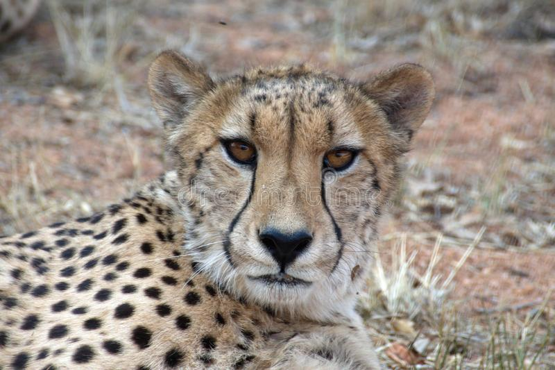 Ci?rrese para arriba de un guepardo fotos de archivo