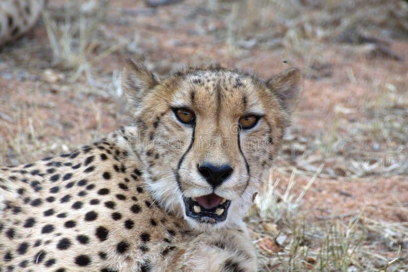 Ci?rrese para arriba de un guepardo foto de archivo