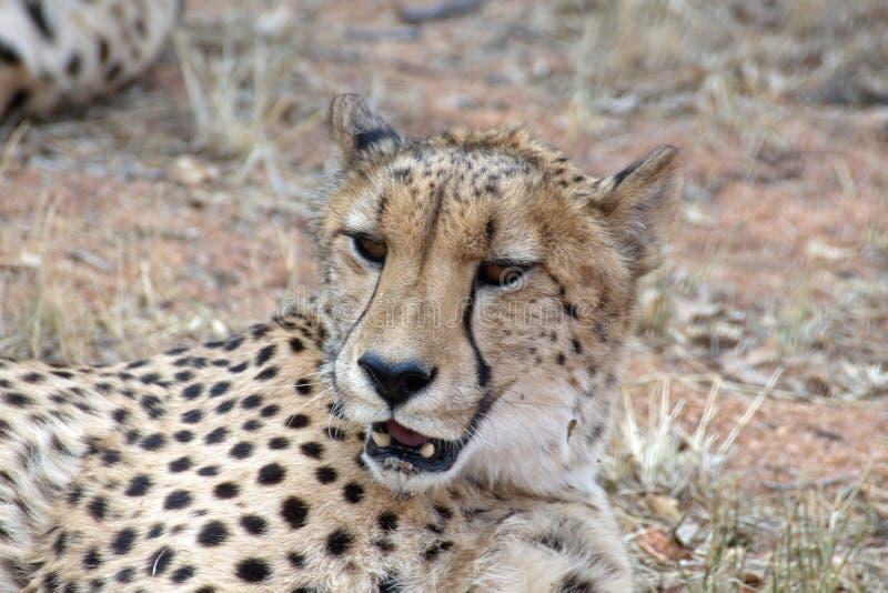 Ci?rrese para arriba de un guepardo fotos de archivo libres de regalías