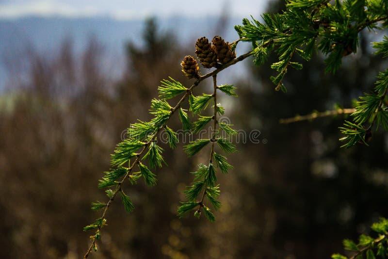 Ci?rrese para arriba de un ?rbol de pino fotografía de archivo libre de regalías