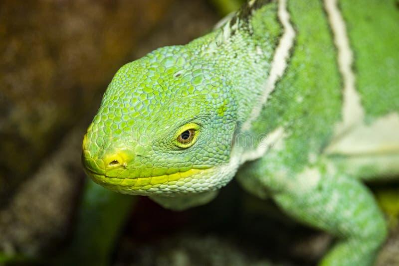 Ci?rrese para arriba de una iguana verde foto de archivo