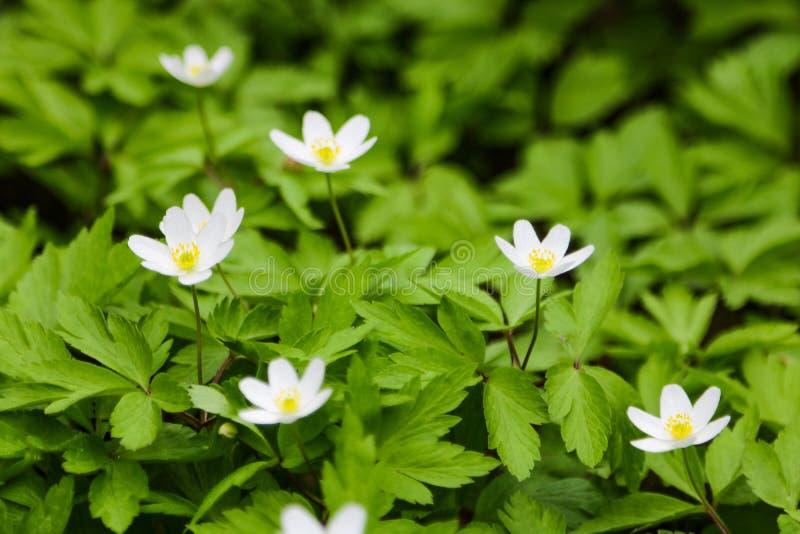 Ci?rrese para arriba en las flores thimbleweed o windflower tambi?n llamado de una an?mona del japon?s foto de archivo libre de regalías