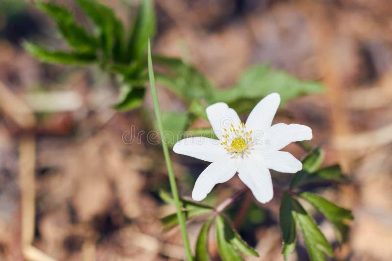 Ci?rrese para arriba en las flores thimbleweed o windflower tambi?n llamado de una an?mona del japon?s crecimiento en el bosque fotografía de archivo