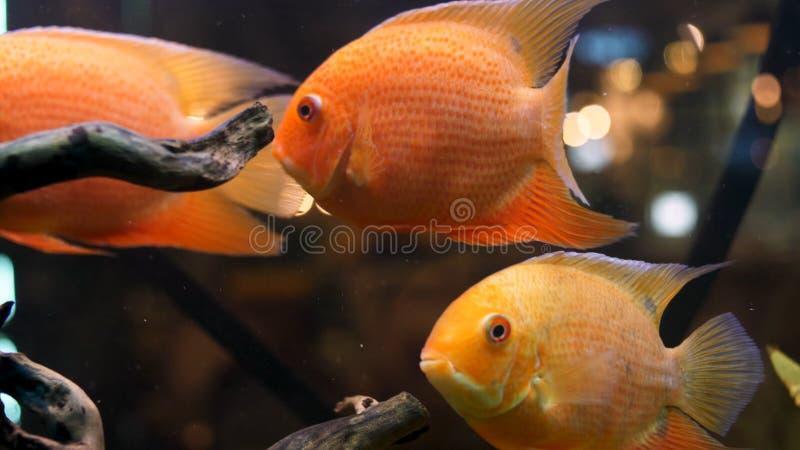 Ci?rrese para arriba para los peces de colores brillantes y hermosos en acuario con las ramas de madera de las plantas verdes Cap foto de archivo