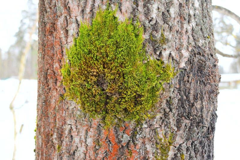 Ci sono le variazioni nella crescita scrivono dentro ad un singolo lichene le specie, zone grigie fra il tipo descrizioni della c immagini stock libere da diritti