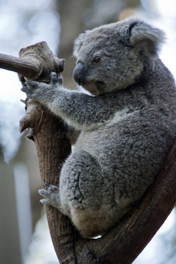 Ci? ? una vista laterale di una koala immagine stock libera da diritti