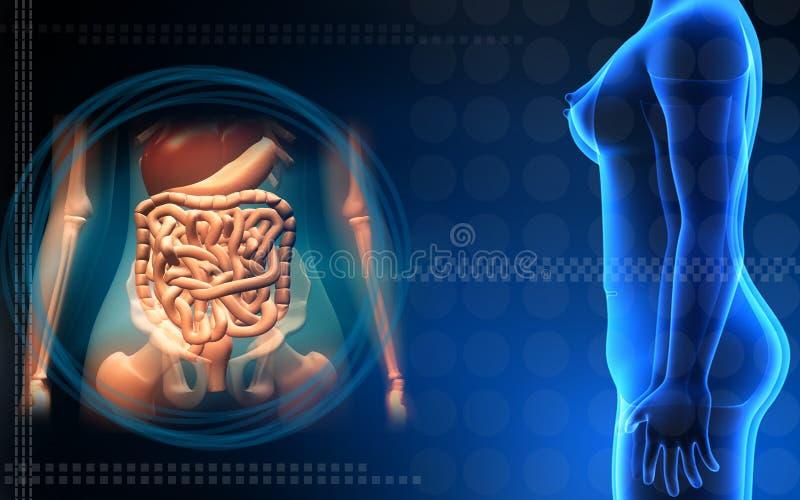 ciało kobiety trawienny ludzki system ilustracji