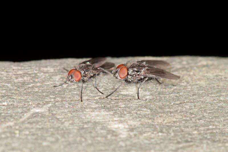 Ciało komarnicy zdjęcia royalty free