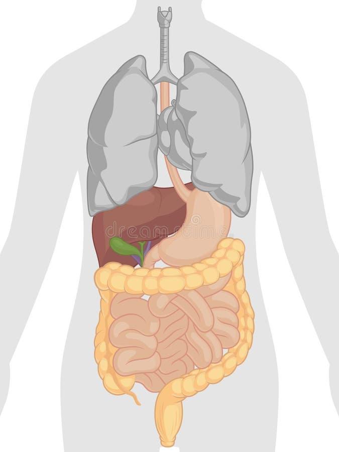 Ciało Ludzkie anatomia - Trawienny system ilustracji