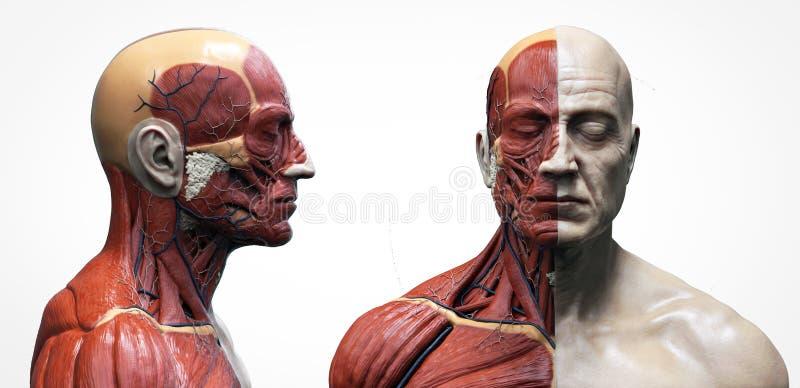 Ciało ludzkie anatomii mięśni struktura samiec ilustracji