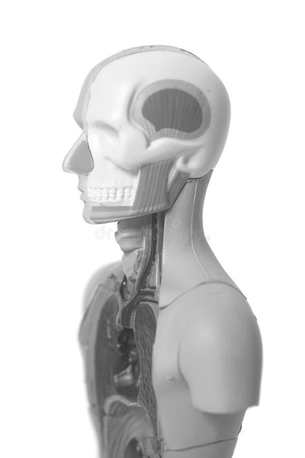 Ciało Ludzkie anatomii model fotografia stock