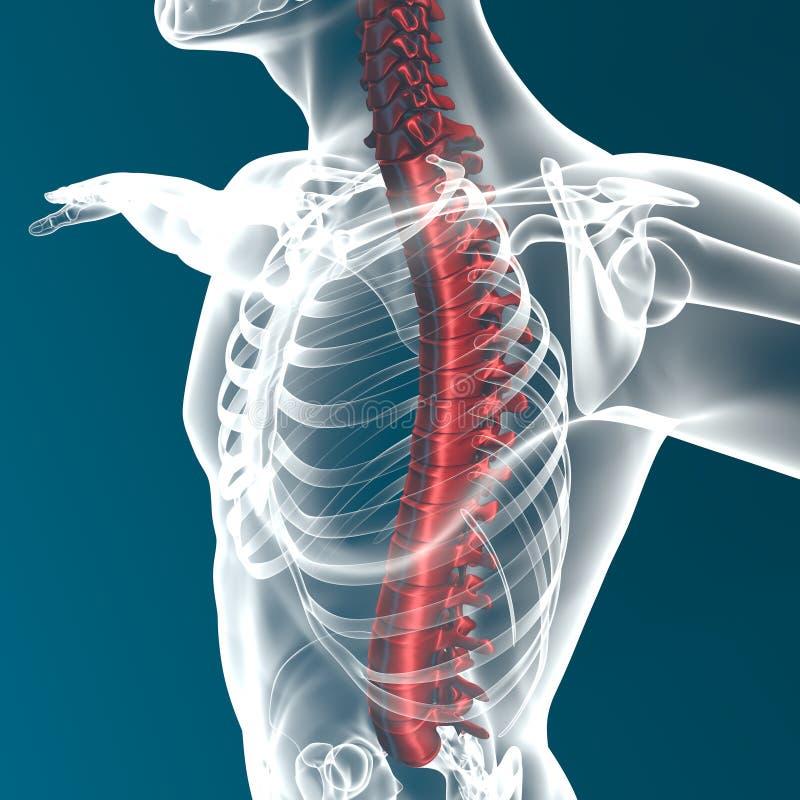 Ciało ludzkie kręgosłupa anatomia ilustracja wektor