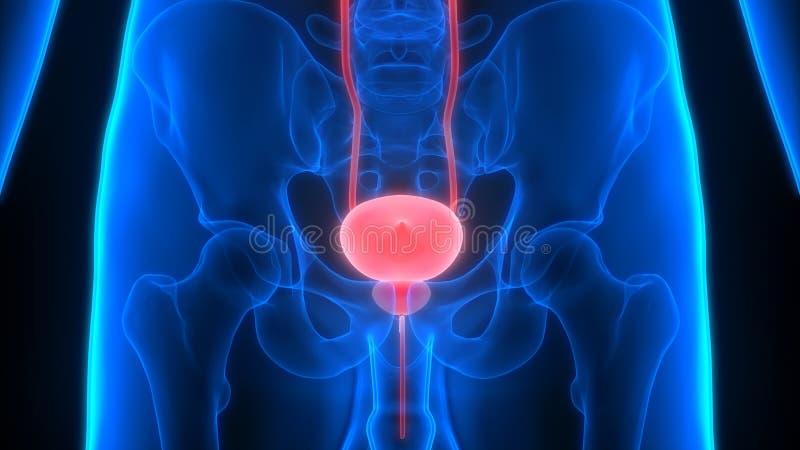 Ciało Ludzkie organów Urinary systemu Pęcherzowa anatomia ilustracja wektor
