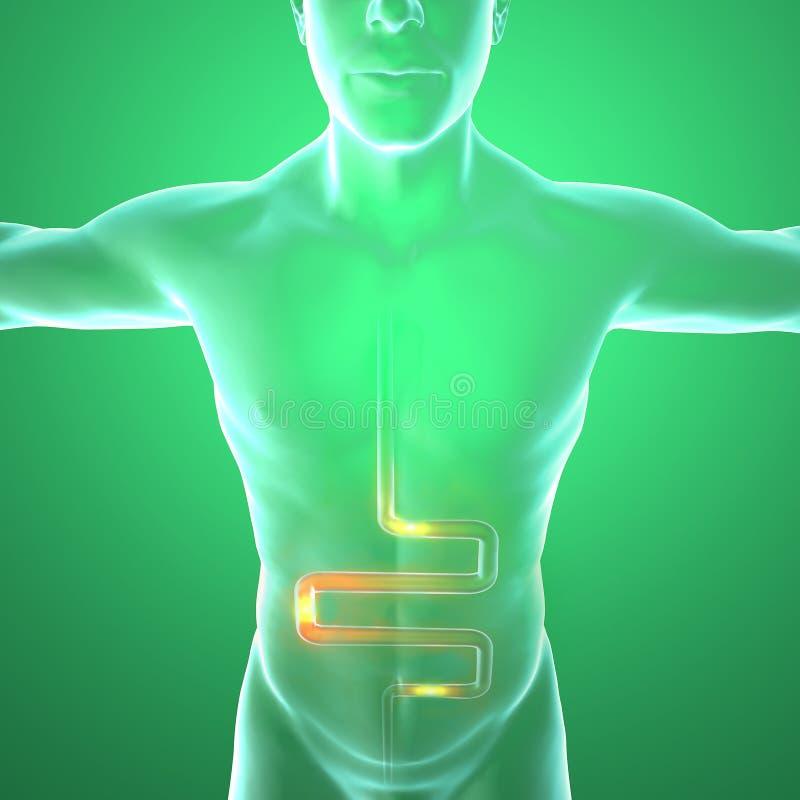 Ciało ludzkie promieniowaniami rentgenowskimi, trawienny system ilustracja wektor