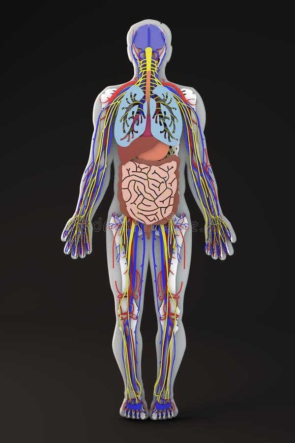 Ciało ludzkie, wewnętrznych organów sekcja, trawienny system ilustracja wektor