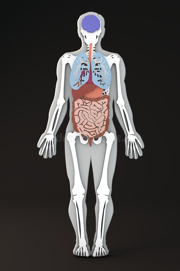 Ciało ludzkie, wewnętrznych organów sekcja, trawienny system ilustracji