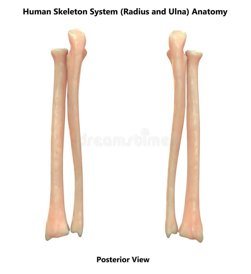 Ciało Ludzkie Zredukowanego systemu kości promieniomierz i Ulna widoku Posterior anatomia royalty ilustracja