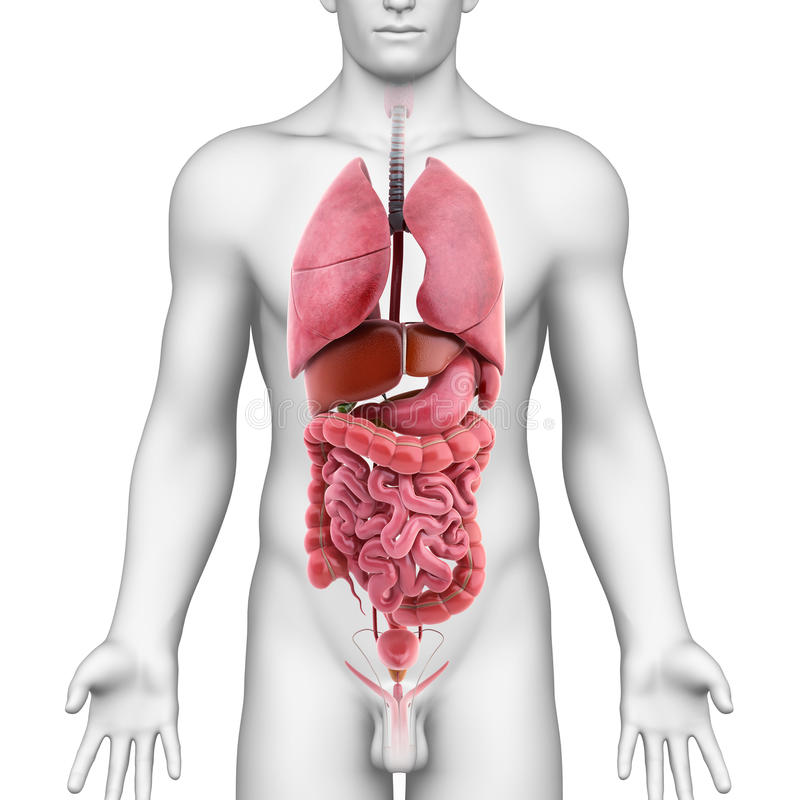 ciało organy wewnętrzni męscy ilustracji