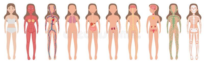 Ciało systemu kobiety istoty ludzkiej set ilustracji