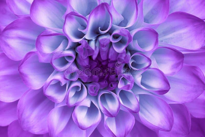 Ciano primo piano lilla del fiore della dalia Macro Può essere utilizzato nella progettazione e nella stampa del sito Web fotografia stock