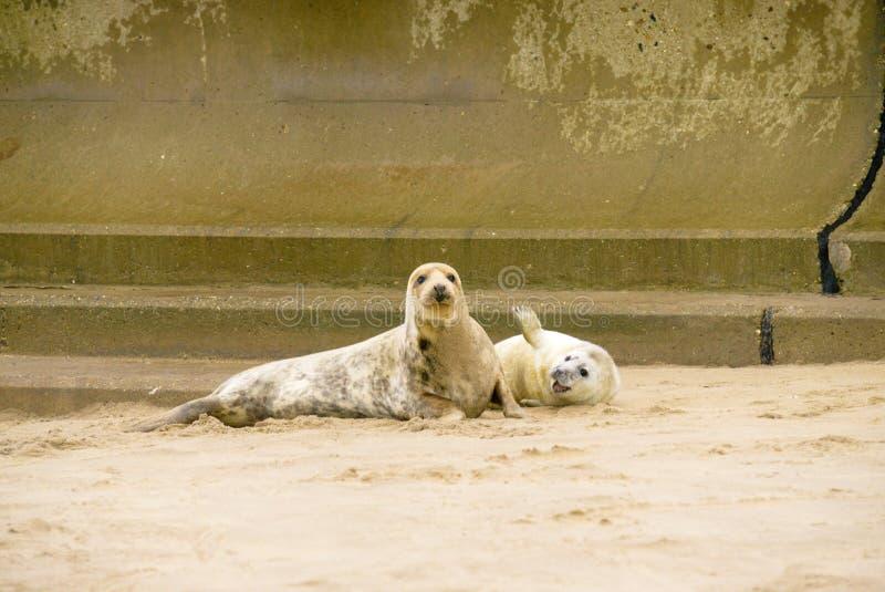 Ciao d'ondeggiamento del cucciolo e della guarnizione adulta! fotografia stock