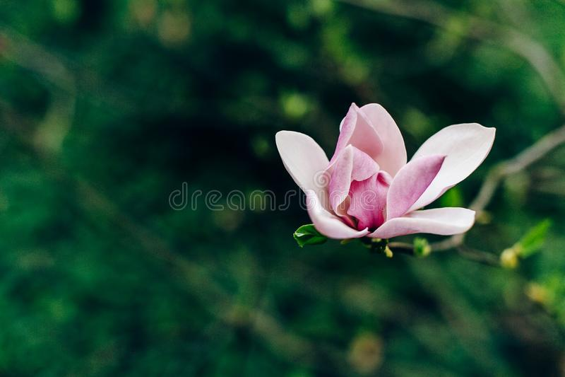 Ciao primavera fiore rosa della magnolia sul ramo in parco verde soleggiato fotografia stock