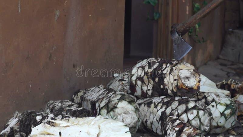 Ciapanie agawa zdjęcie wideo