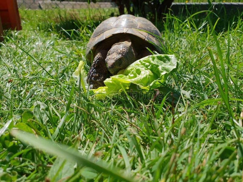 Cibo animale di Schildkröte Essen dell'insalata dell'erba della tartaruga immagine stock