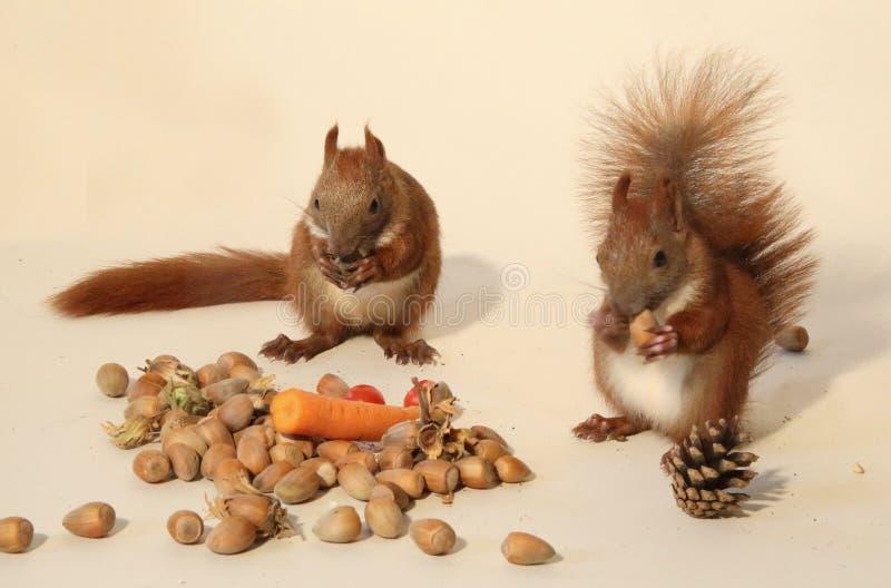 Cibo degli scoiattoli immagine stock libera da diritti