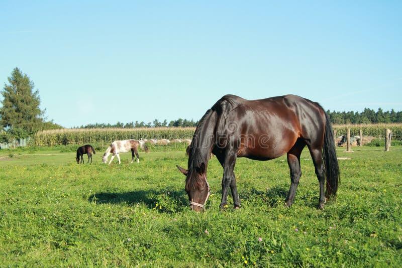 Cibo dei cavalli immagine stock