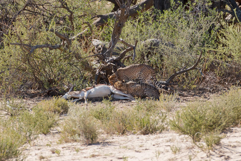 Cibo dei ghepardi fotografia stock libera da diritti