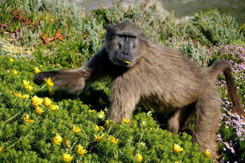 Cibo del babbuino immagine stock libera da diritti