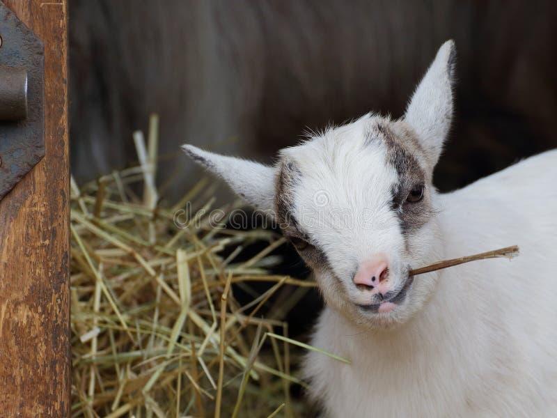 Cibo del ritratto del primo piano della capra del bambino fotografia stock libera da diritti