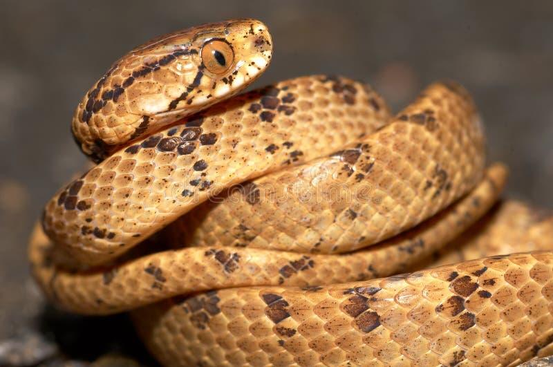 cibo del serpente Taiwan dell'interlinea fotografia stock libera da diritti