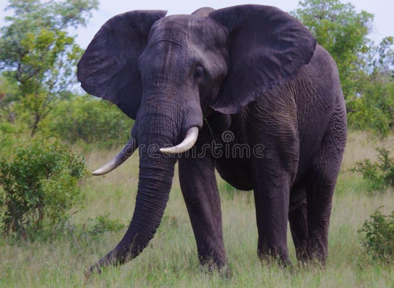 Cibo dell'elefante immagine stock