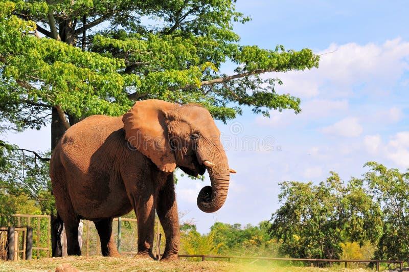 Cibo dell'elefante africano immagini stock