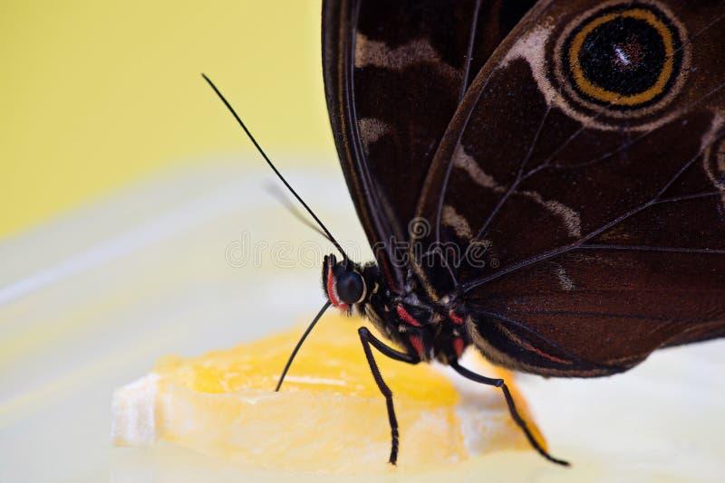 Cibo della farfalla di Morpho immagine stock libera da diritti